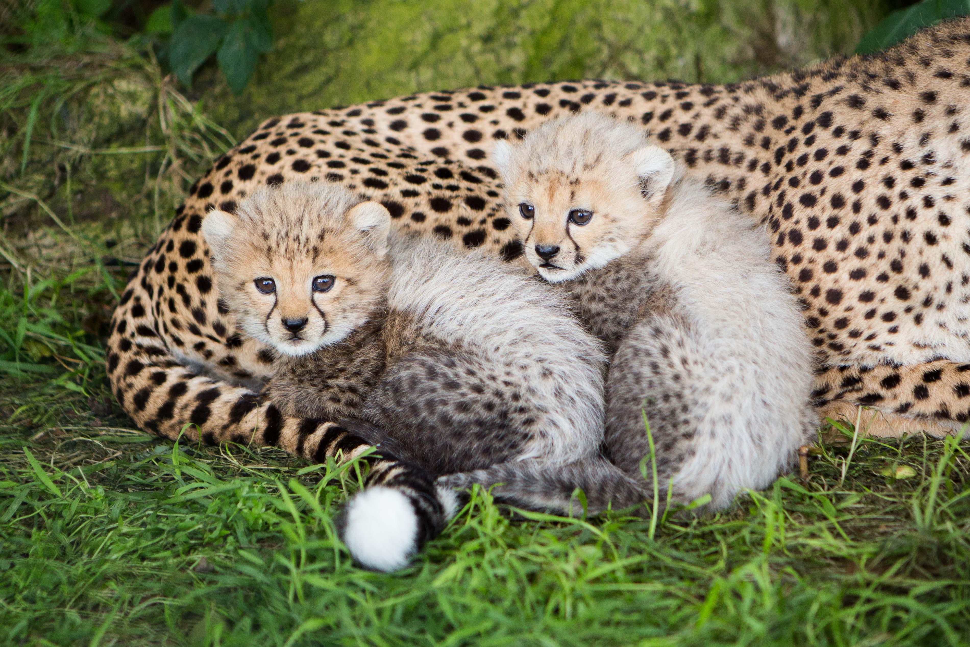 Cheetah_Cubs_in_Fota_Need_a_name_1