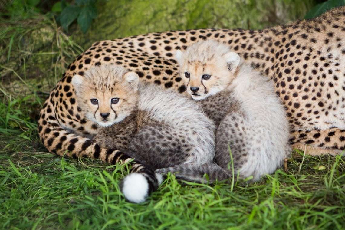 Cheetah_Cubs_in_Fota_Need_a_name_1