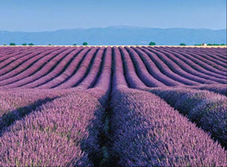 741515ea71356e63eed376fc3130f410--lavender-fields-france-provence-lavender