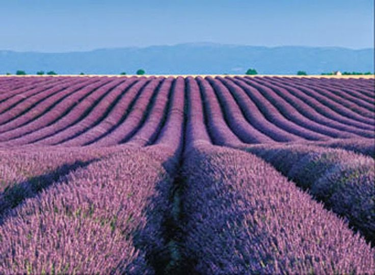 741515ea71356e63eed376fc3130f410--lavender-fields-france-provence-lavender